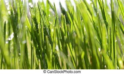 Fresh green blades of grass in rain. - Fresh green blades of...