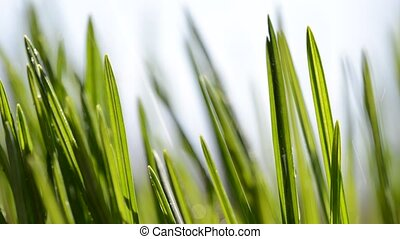 Fresh green blades of grass in rain closeup.