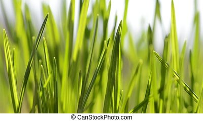 Fresh green blades of grass in the wind close up.