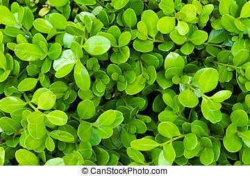 Fresh green boxwood leaves - Background of small oval fresh...