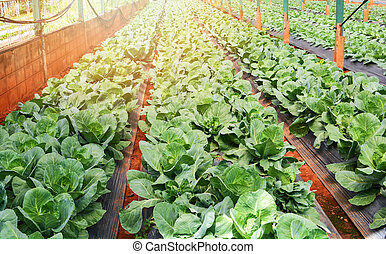 Fresh green cabbage growing on field with vegetable row in greenhouse organic farm