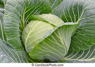 Fresh green cabbage with water drop