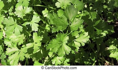 fresh green celery close-up of the plant - Organic fresh ...