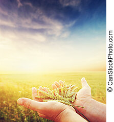 Fresh green cereal, grain in farmer's hands. Agriculture...