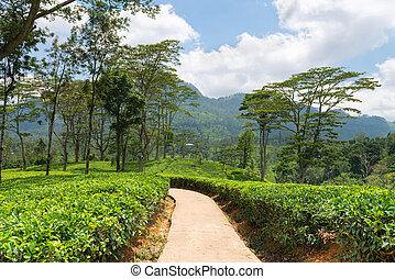 Fresh green Ceylon tea plantation field at mountains - Path...