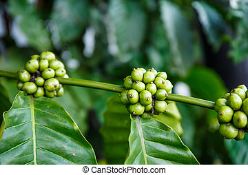 Fresh green coffee on the tree in the garden.