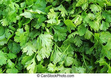 fresh green coriander on the market.