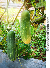 Fresh green cucumber growing on plant vine tree on organic vegetable garden farm wait for harvesting cucumber