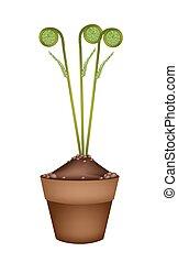 Fresh Green Fiddleheads in Ceramic Flower Pots - Vegetable,...