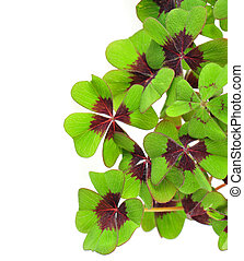 fresh green four leaved clover plant