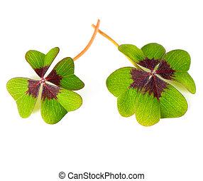 fresh green four leaved clover plants