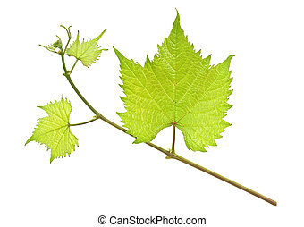 Fresh green grape leaf isolated on a white background