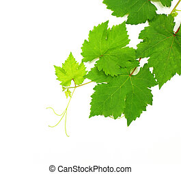 Fresh Green Grape Leaf isolated on white Background - Fresh...
