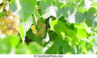 varieties of healthy, ripe and juicy white grapes ready to be harvested.
