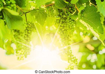 Fresh Green grapes on vine. Summer sun lights. Defocus picture