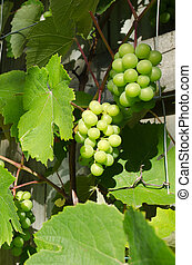 Green grapes on vine - Fresh Green grapes on vine grow in...