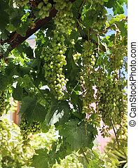 Fresh green grapevine growing