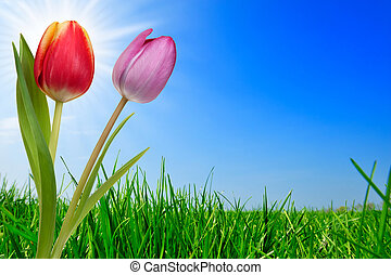 grass and beautiful tulips