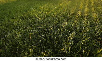 Fresh green grass background.