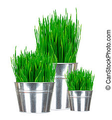 Fresh green grass in small metal buckets isolated on white