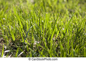 Fresh Green Grass In Spring Sunligh
