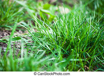 Fresh green grass in the garden.