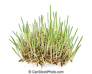 Fresh green grass isolated on white background. Sprouted oats on white background.