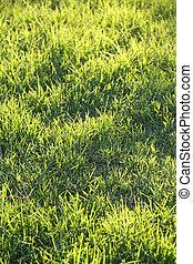 Fresh green grass on a lawn