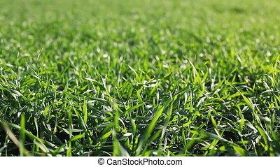 fresh green grass on the field