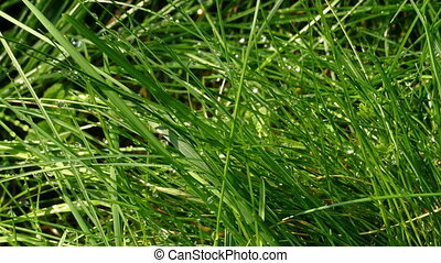 Fresh green grass with dew drop closeup.