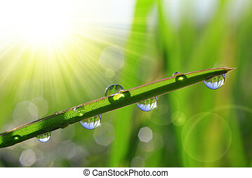 dew drops - Fresh green grass with dew drops closeup. Nature...