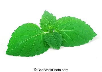 fresh green holy basil leaves