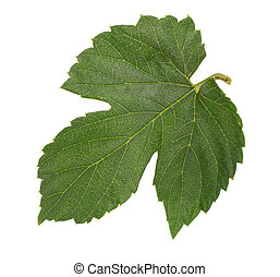 Fresh green hops leaf, isolated on a white background. Close up.