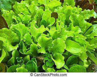 Fresh green Iceberg lettuce veggie