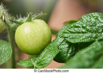 Fresh green indoor tomatoes on a branch grown at home