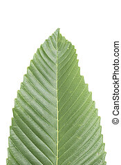 Fresh green leaf isolated.