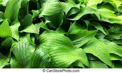 Fresh Green Leaves Background with rain drops. - Fresh Green...