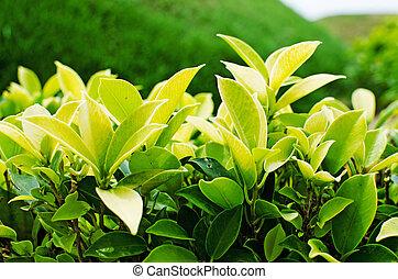 Fresh green leaves in garden