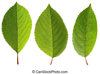 Fresh green leaves of cherry, isolated on a white background.