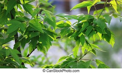 Green leaves of garden tree in slow motion - Fresh Green...