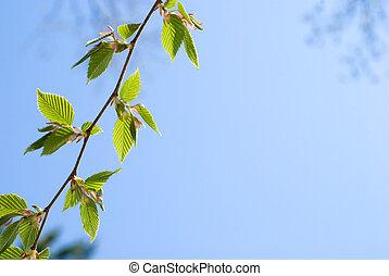 Fresh green leaves of the Chonowski's hornbeam tree