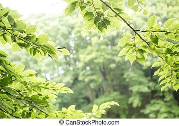 Fresh green leaves - Fresh green carpinus tschonoskii...