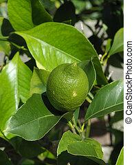 Fresh green lemon fruit