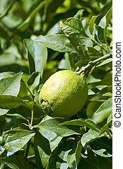 Fresh green lemons on tree