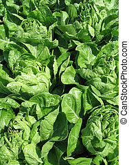 fresh green lettuce in a