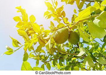 fresh green lime on tree in garden