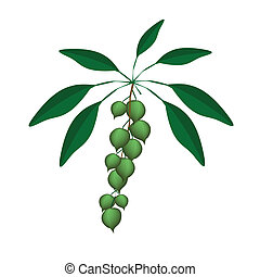 Fresh Green Macadamia Nuts on A Branch