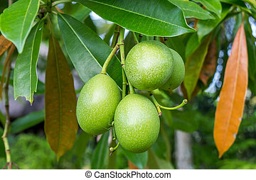 Fresh green mango fruit plant tree outside in summer tropical
