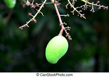 Fresh green mango fruits
