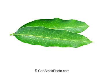Fresh green mango leaf on white background
